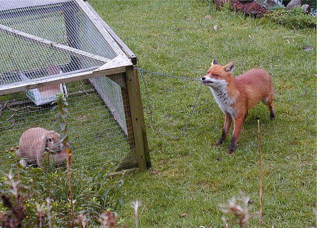 Fuchs bedroht Kaninchen
